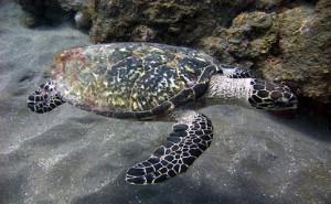 Hawksbill_turtle_off_the_coast_of_Saba