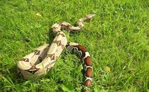 Boa_constrictor_constrictor_guyana