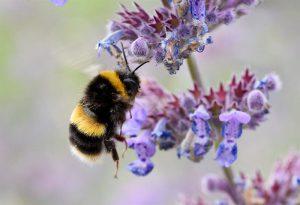 abeja-en-peligro-de-extincion
