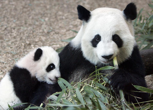 Giant Panda Atlanta