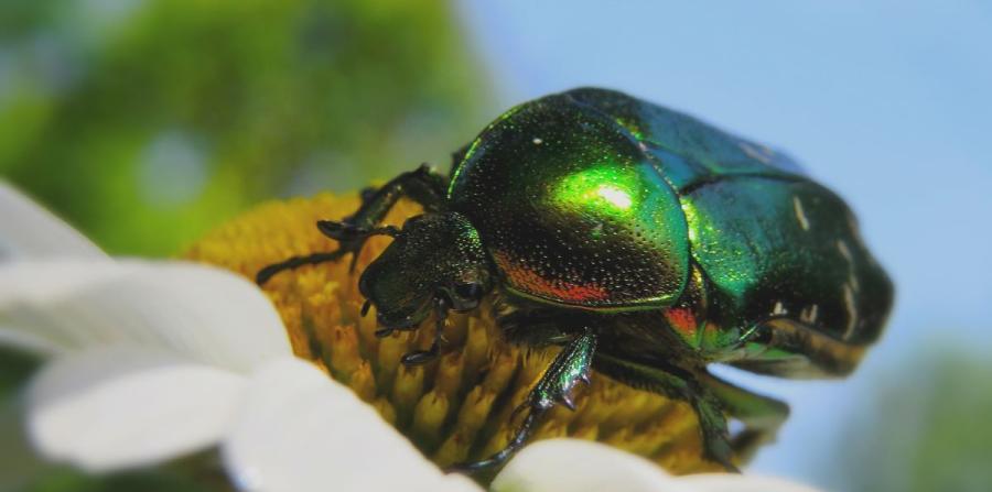 escarabajo-verde