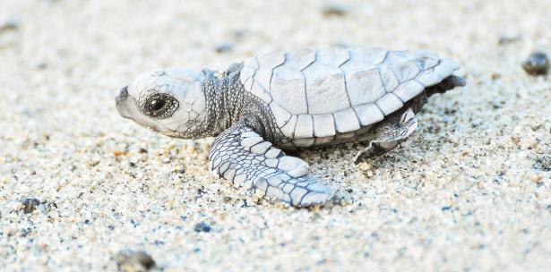 tinglar la tortuga marina mas grande