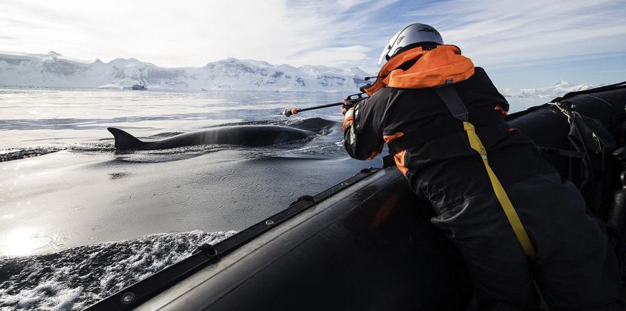 vida de las ballenas en la Antartida