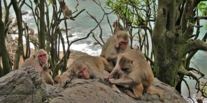 monas macacos
