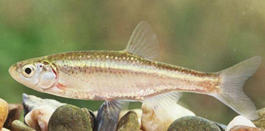 pez macho