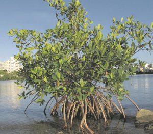 Raices del mangle rojo