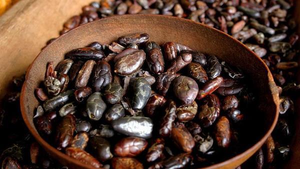 cultivo del cacao