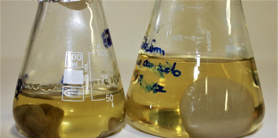 hongo Zalerion maritimum degrada plasticos