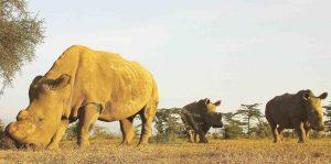 macrauquenia pariente de rinoceronte caballos y tapires