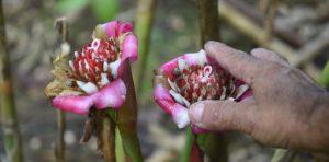 Cooperativa de Patillas exporta flores para el mundo