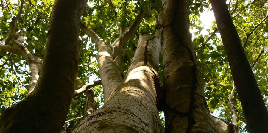 Pisonia horneae es un arbol en Puerto Rico