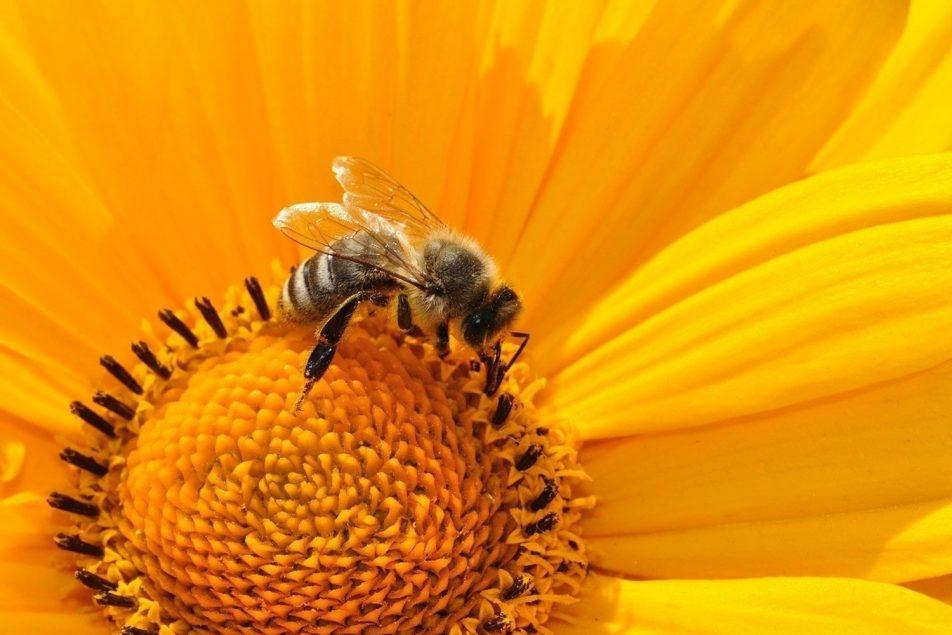 foto-abeja