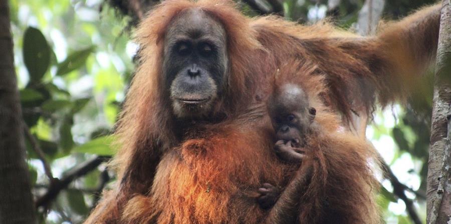 una nueva especie de orangutan
