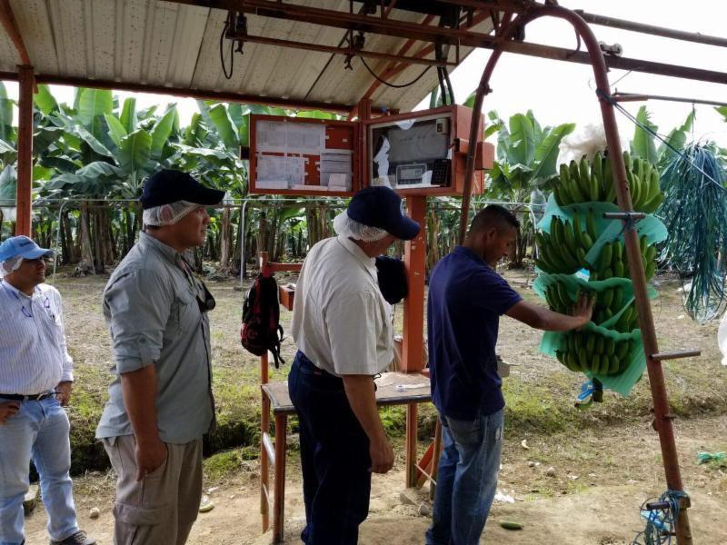 platanos y guineos para Puerto Rico