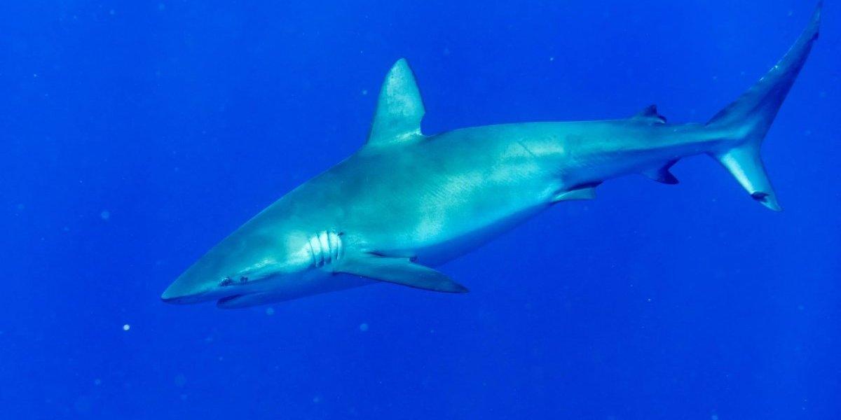 tiburones en el Golfo Persico