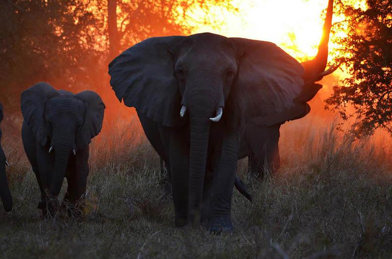 gorongosa elefante