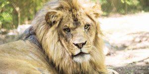 leones en Zimbabue