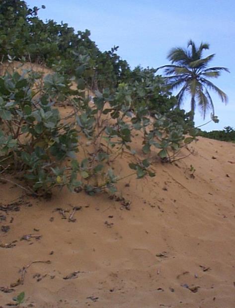 dunas de la costa norte Puerto Rico