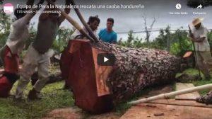 equipo de para la naturaleza rescate de caoba hondurena