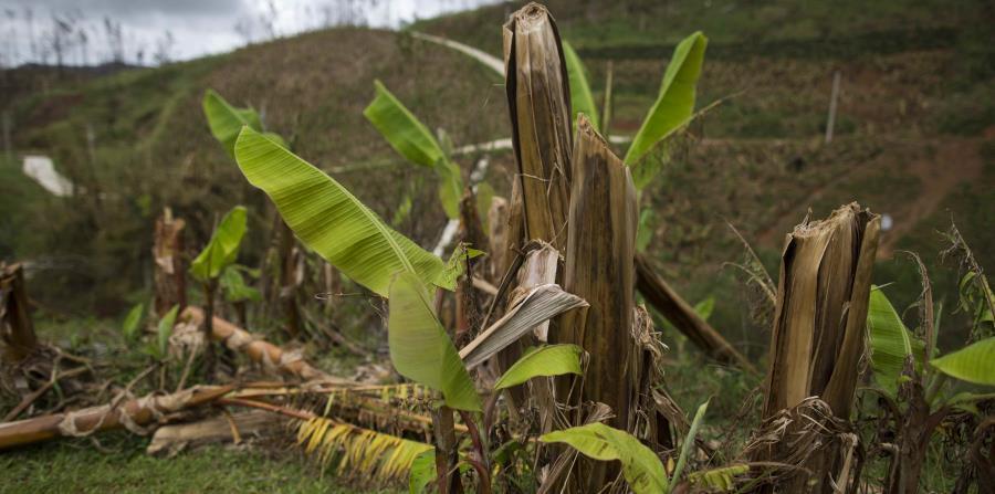 cultivo agricultores Sembradio de platanos