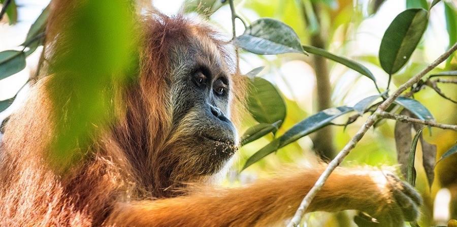 Orangutan de Tapanuli