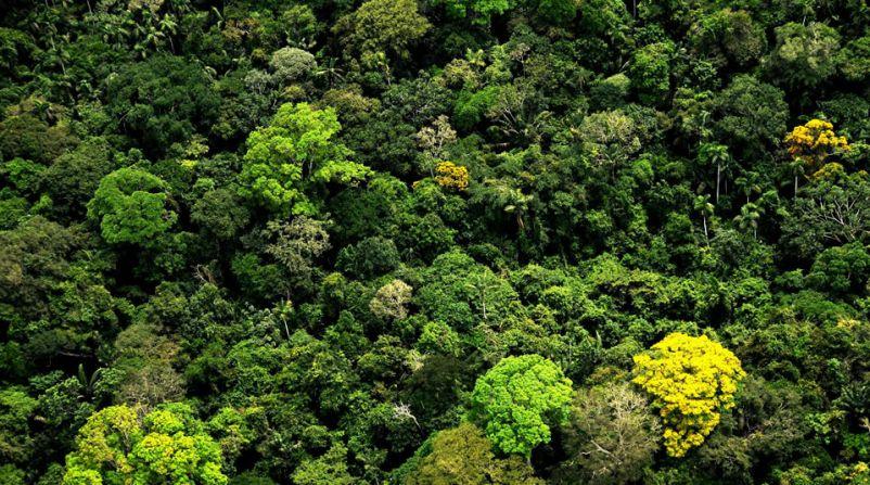 arboles altos en Amazonas