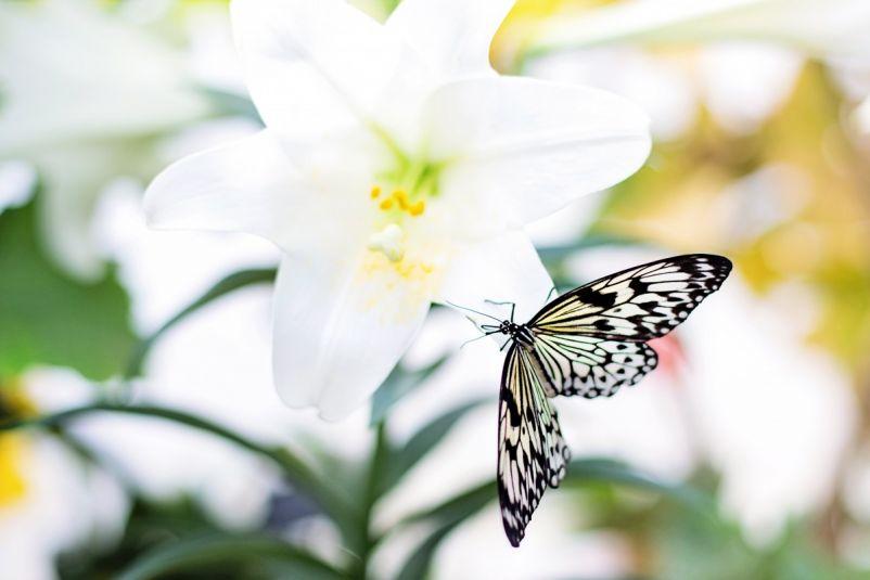 butterfly maiposa planta biodiversidad