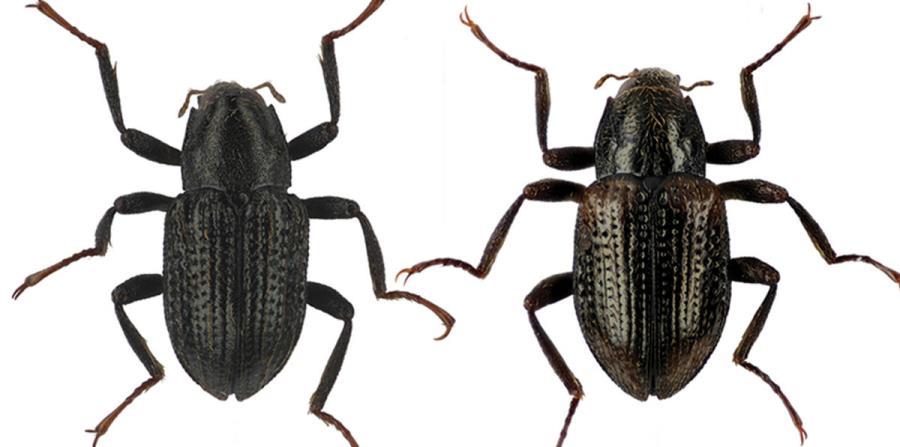 escarabajo Grouvellinus leonardo dicaprio