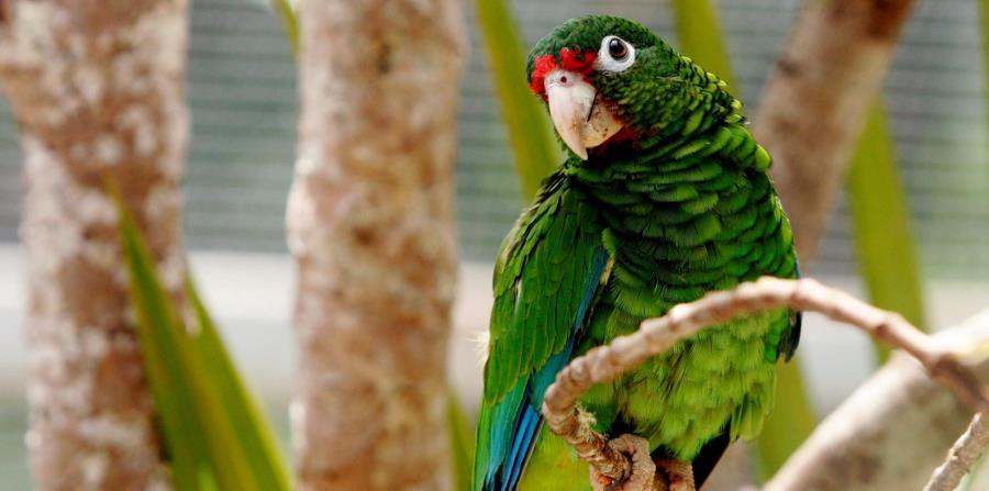 especies en peligro extinción cotorra
