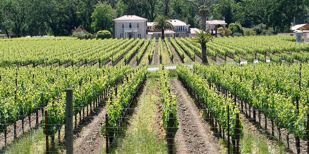vineyard seen in Mendocino County