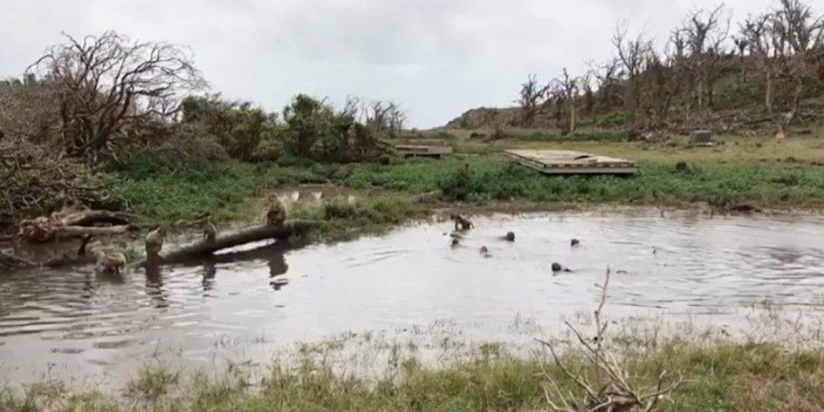 Monos de Cayo Santiago