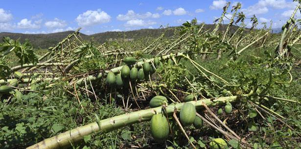 huracan maria cosechas agricultura