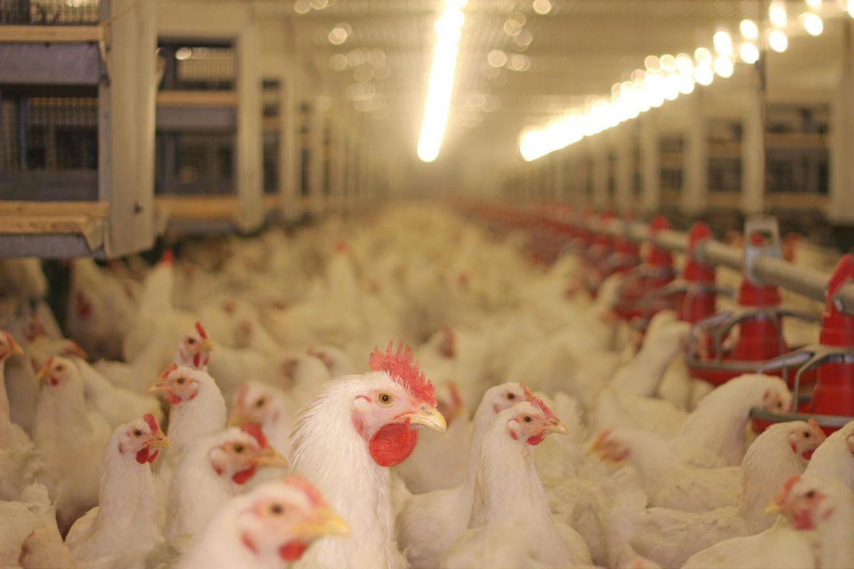 pollo local