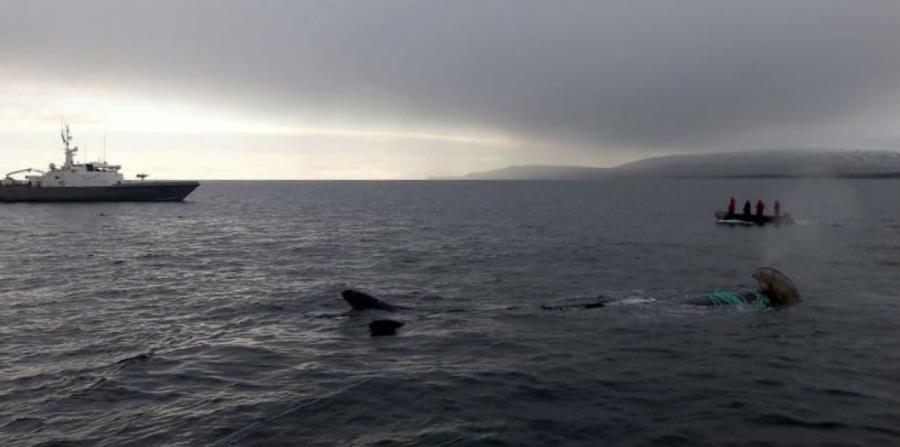 ballena atrapada en Chile