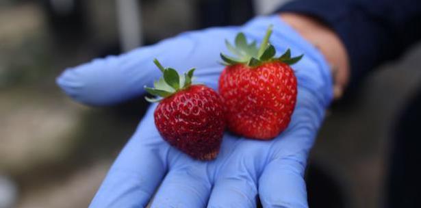 cosecha de fresas