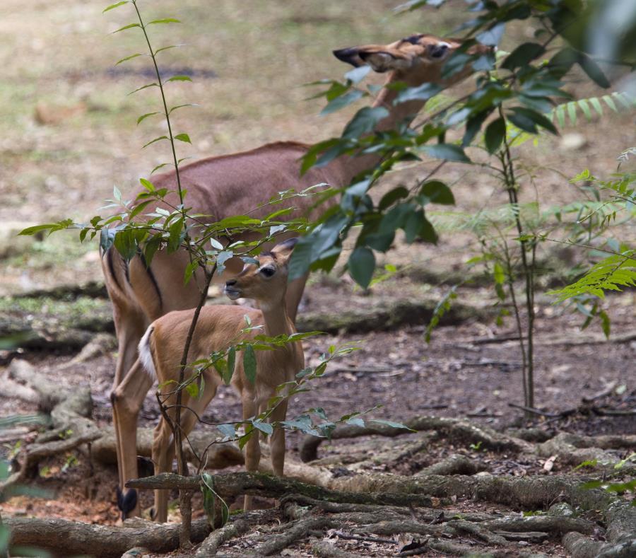 Un impala con su cría en el zoológico de Mayagüez