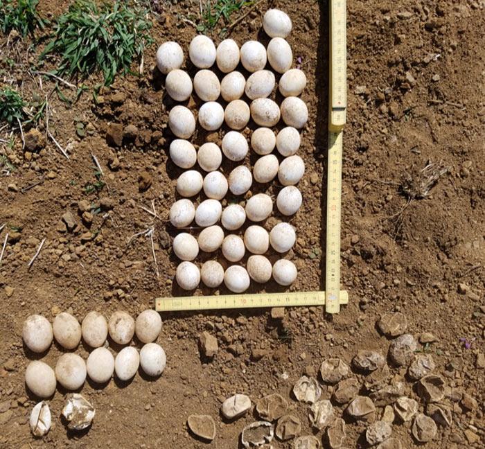 Huevos de iguana