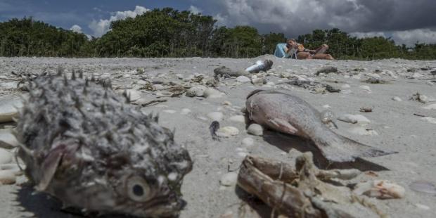 peces muertos por la marea roja en costa de Florida