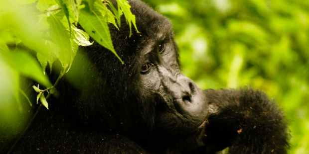 Gorilas de montana