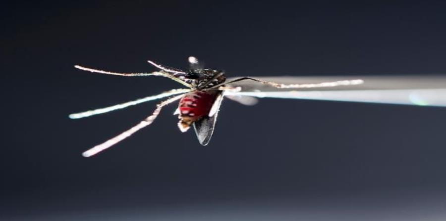 mosquito Aedes aegypti dengue zyka chikungunya