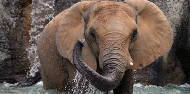 elefanta de Mayaguez