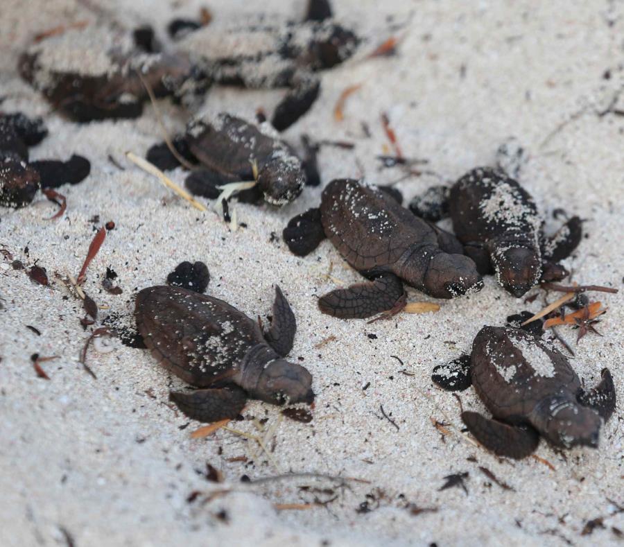 nidos de carey