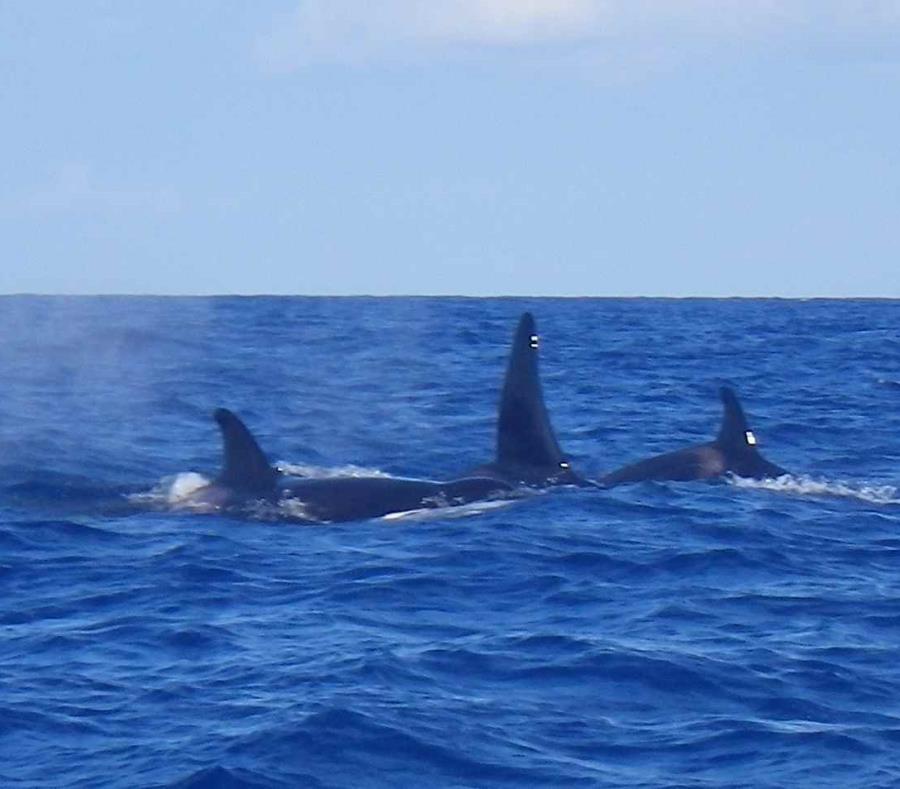orcas en Puerto Rico