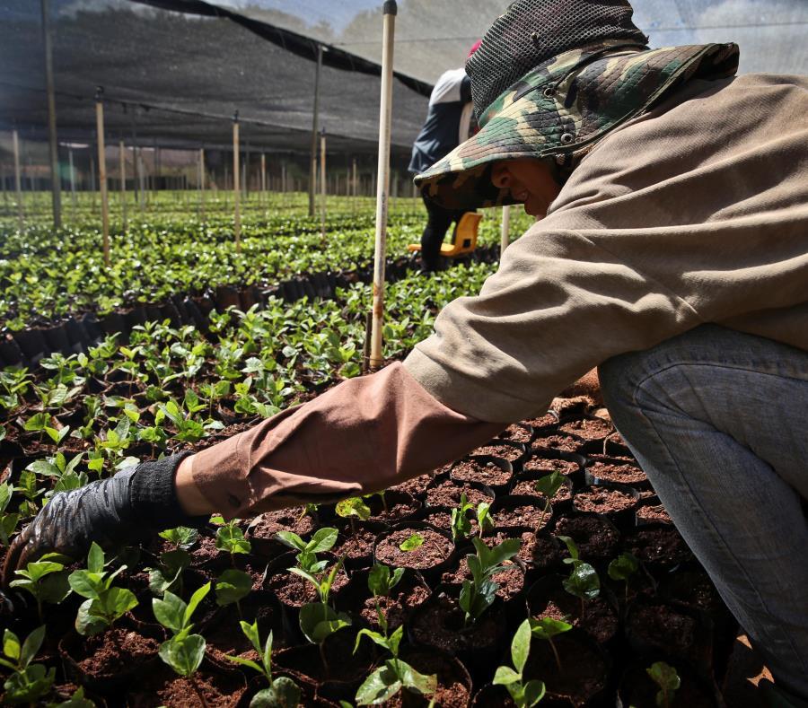 plantacion de cafe en Puerto Rico