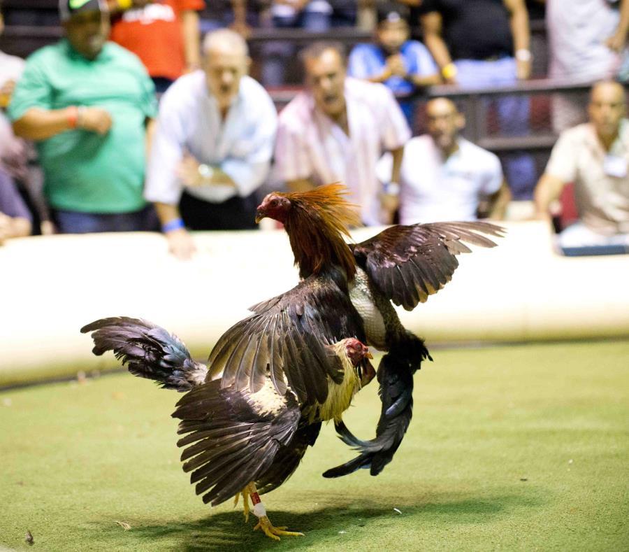 prohibicion en contra de las peleas de gallos