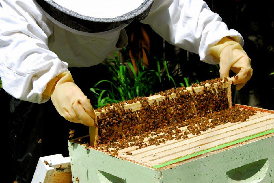abejas domésticas en Puerto Rico
