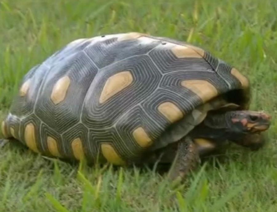 caparazon de tortuga impreso en 3D