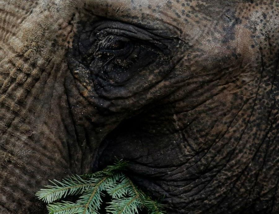 elefantes africa sin colmillos