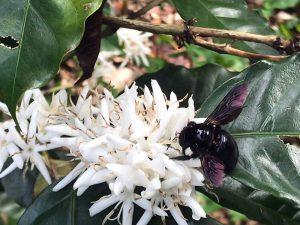 Florecen árboles de café