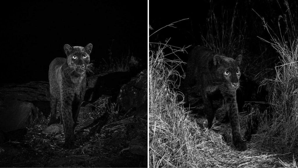 Black-leopard-Africa